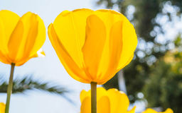 Spring flowers series, yellow tulips against strong sun shine Stock Photo