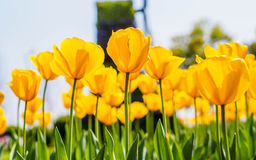 Spring flowers series, yellow tulips against strong sun shine Royalty Free Stock Photos
