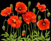 Spring flowers set: poppy. Red poppys on black background Royalty Free Stock Photo