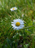 Spring flowers.Several flowering daisies Bellis perennis. Stock Photo