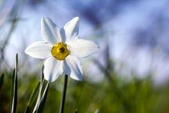 Spring flowers. Single white flower narcissus, blur sky background Stock Image