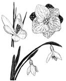 Spring flowers in sketch style: Snowdrop, crocus, lilac flower Stock Images