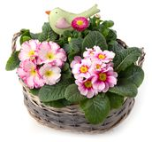 Spring flowers and small bird in planting bowl isolated Stock Image
