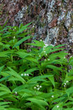 Spring flowers. Small False Solomon's Seal (Maianthemum stellatum) at the base of old-growth Nobel Fir (Abies procera) in Oregon Stock Photos