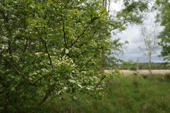 Spring flowers. Small white flowers blooming on a branch Royalty Free Stock Image