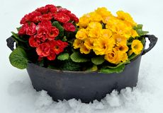 Spring flowers in snow Royalty Free Stock Photography