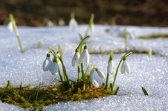 Spring flowers, snowdrop Stock Photography