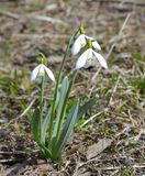 Spring flowers, snowdrop Royalty Free Stock Photo