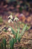 Spring flowers - snowdrops. Beautifully blooming in the grass at sunset. Amaryllidaceae - Galanthus nivalis Stock Photos