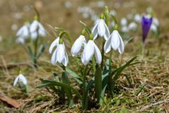 Spring flowers, snowdrops Stock Photography
