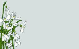 Spring flowers snowdrops. Fresh snowdrops on a gray background with space for text. Card with the first spring flowers. Vector illustration of graphic snowdrops Stock Images