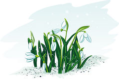 Spring flowers snowdrops Stock Photos
