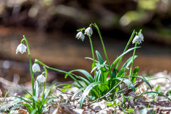 Spring flowers, snowflake Royalty Free Stock Photography