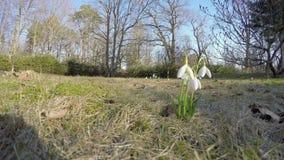 Spring flowers snowflake snowdrop (leucojum vernum) park. 4K stock footage