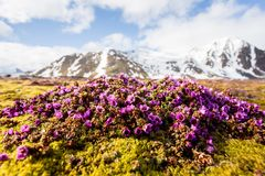 Spring flowers on Spistbergen royalty free stock image