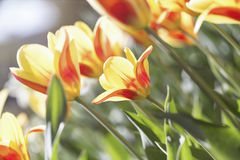 Spring flowers in the sun. Some coloful spring flowers in the sun stock photo