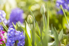 Spring flowers in the sun. Some coloful spring flowers in the sun stock image