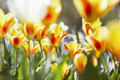 Spring flowers in the sun. Some coloful spring flowers in the sun stock images