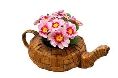 Spring flowers in a teapot. Bright and fresh primula flowers in a wicker teapot Royalty Free Stock Photos