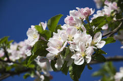 Spring flowers. Spring Time - close-up on a tree branch with flowers Royalty Free Stock Photography