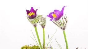 Spring flowers, time-lapse stock video footage