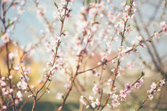 Spring flowers tree blossom. In sunny day Royalty Free Stock Photo