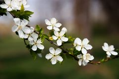 Spring flowers on the tree branch  with blurred background royalty free stock photos