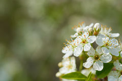 Spring flowers on a tree branch Royalty Free Stock Images