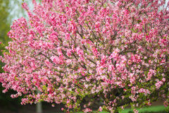 Spring Flowers On a Tree Royalty Free Stock Images