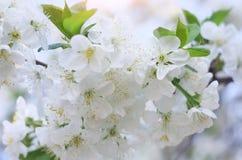 Spring flowers on tree. Royalty Free Stock Photos