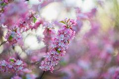 Spring Flowers on a Tree Stock Image