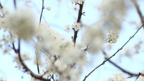 Spring flowers on tree on sky background. White flowers on cherry branches. Spring flowers on cherry tree on blue sky background. White flowers on cherry stock video