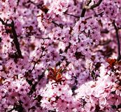 Spring flowers on the trees royalty free stock image