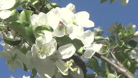 Spring flowers on trees stock video