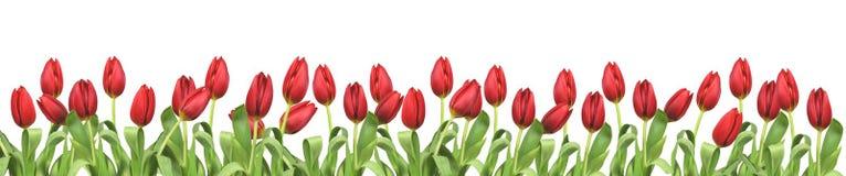 Spring flowers tulip Stock Image