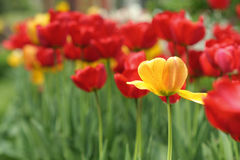 Spring flowers of tulip on blurred background