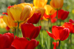 Spring flowers of  tulip on blurred background Royalty Free Stock Photography