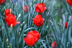 Spring flowers red tulip of valley on white wooden table, top view royalty free stock images