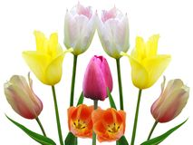 Spring flowers tulips Stock Photo