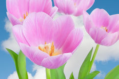 Spring flowers tulips Stock Photo