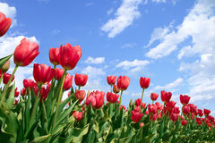 Spring flowers tulips  in blue sky Royalty Free Stock Image