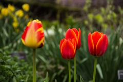 Spring Flowers - Tulips Stock Image