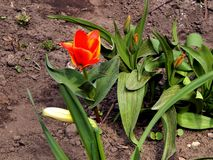 Spring flowers of tulips in the garden Stock Photo