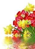 Spring flowers tulips isolated on white background Royalty Free Stock Photo