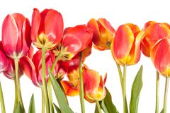 Spring flowers. Tulips isolated on white. Stock Photo
