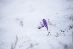 Spring flowers under the snow. A part of spring from Romania garden in snow stock photos