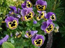 Spring flowers viola garden summer sun Stock Photos