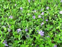 Spring flowers. Spring violet flower field in sunlight royalty free stock photo