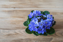 Spring flowers. Violets pot on a vintage wood background. Stock Images