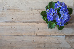 Spring flowers. Violets pot on a vintage wood background. Royalty Free Stock Images